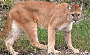 Temor por puma suelto en country de Unquillo
