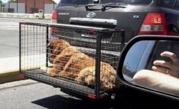 Transportan mascotas con absoluta ilegalidad y desconsideración