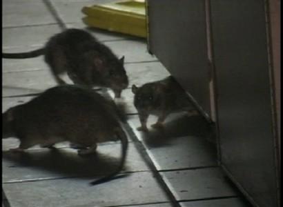 Premio Nóvel por la Noticia. El Suoem denuncia invasión de ratas en el Palacio 6 de Julio