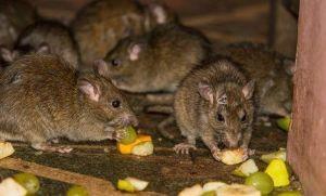 Hantavirus: pánico por invasión de ratas en Buenos Aires