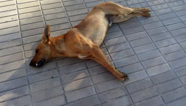 Investigan matanza masiva de perros en Carrilobo