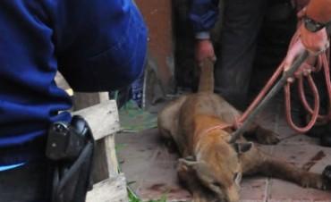 Puma suelto alarmó a San Francisco