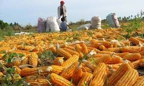 Cosecha récord. Córdoba, en el tope mundial de productores de maíz