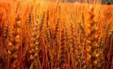 La mayor siembra de trigo agotó la oferta de semillas