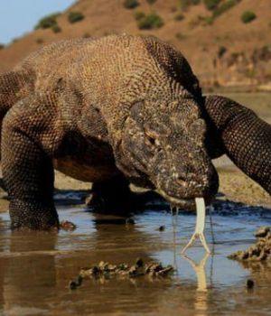 Alivio para los dragones de Komodo: prohíben ingreso de turistas a la isla